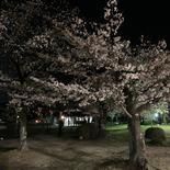 夜9時の桜